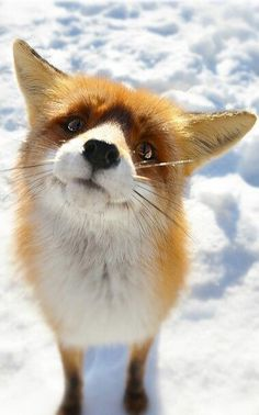 I've never seen a fox face like this - so cute!  Hope I didn't fall for a Photoshop trick.  Wonder what the fox would say?