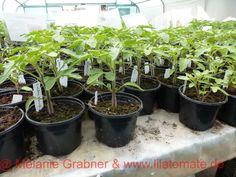 2 Pikieren und Pflegen der Jungpglanzen Teller, Chili, Plants, Gardening, Youtube, Eggplants, Red Peppers, Garden Plants, Seeds