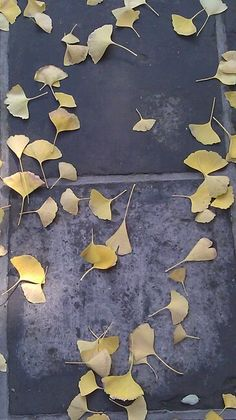Beautiful ginko leaves
