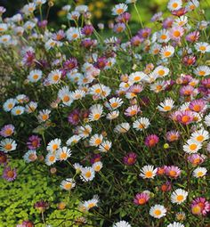 Erigeron karvinskianus. Fast growing perennial ground cover. It produces masses of dainty flowers for up to nine months. It is suitable for a full sun to part shade position, is frost tolerant and requires little water once established.