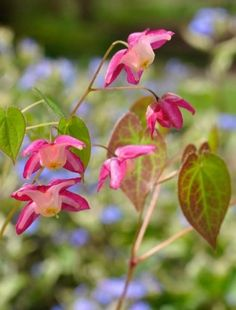 Small, bright red flowers with white centres dance above heart shaped, leathery foliage that is richly tinted in spring. Plum Garden, Shade Garden, Lawn And Garden, Yellow Flowers, Spring Flowers, Claire Austin, Virginia Bluebells, Woodland Plants, Gardens