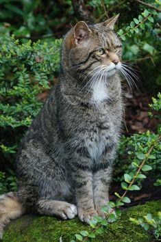 Best of Tabby Cats pictures: I Love Cats, Big Cats, Cats And Kittens, Cute Cats, Funny Cats, Tabby Cats, Beautiful Cats, Animals Beautiful, Cute Animals