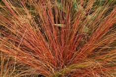 Ornamental Grasses for Dazzling Fall Color