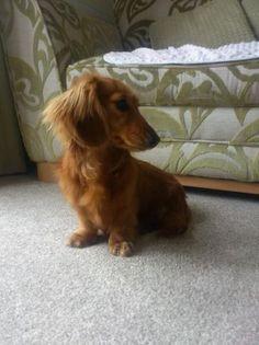 Pics Photos - Miniature Dachshunds #dachshund