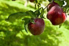apple tree care