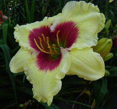 Daylily, Hemerocallis 'Westbourne Red Eye Gravy' (Meadows, 2007)