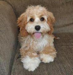Cockalier Poodles for Sale Bing Images Sophia wants a
