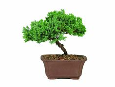 Brussel's DT2101GMJ Green Mound Junpier Bonsai -- Discover this special product, click the image : Patio plants