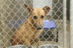 12/20/14-Poor guy is still at the shelter waiting since OCt.to be adopted/fostered. He has a rescue so if someone will foster we will get him out. German Shepherd male 8months Kennel A18** $51 to adopt My name is Lovie and once you meet me you will see the name fits!! Located at Odessa, Texas Animal Control. Must have a valid Drivers License and utility bill with matching address to adopt. They accept Credit Cards, cash or checks.Please send us a PM if we can answer any questions for you.