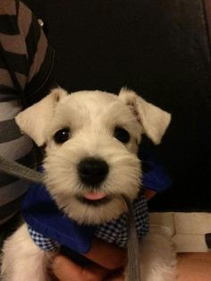 """Discover more details on """"schnauzer dogs"""". Puppies And Kitties, Cute Puppies, Cute Dogs, Doggies, Mini Schnauzer Puppies, Miniature Schnauzer, Most Popular Dog Breeds, Best Dog Breeds, Animals And Pets"""