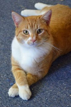DODGE <3 DSH Mix • Adult • Male • Large. Page Animal Adoption Agency Page, AZ. A fun, active, handsome man! Loves to play w/ other CATS & get attn! Enjoys exploring new spaces & doesn't mind DOGS. If you're looking for an awesome cat to be part of your family, Dodge is your man! Please call for more info! 928-640-1500  House trained • Neutered • Shots Current.