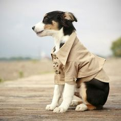 A dog in a tiny trench coat = best thing ever!