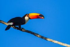 Toco Toucan (Ramphastos Toco) by Bertrando Campos on 500px