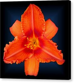 Rocket Orange Daylily by Tara Hutton. This orange beauty is direct from my Michigan garden. The name of this variety is Rocket Orange, the blooms are large, showy and quite visible even when viewed from a far distance. #RocketOrangeDaylily #TaraHutton #ArtPrintOnCanvas #Orange #Lily #Garden #Flower #Floral #FineArtAmerica