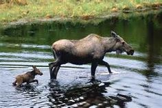 Baby moose following mother in river