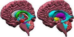 Resultado de imagen para maquetas de cerebros interactivos
