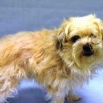 CUDDLE  A1098901\r\n\r\nFEMALE, TAN \/ WHITE, MALTESE MIX, 10 yrs\r\nSTRAY STRAY WAIT, NO HOLD Reason STRAY\r\nIntake condition GERIATRIC Intake Date 12\/06\/2016, From NY 10033, Due Out Date 12\/09\/2016,\r\n\r\nMedical Behavior Evaluation GREEN\r\nMedical Summary Scan negative BARH Heavy dental tartar Lt eye was closed, cleaned with gauze and eye irrigating solution, no reflex on Lt eye, possible lt eye blind Large soft mass on near Lt shoulder Geriatric Applied ac...