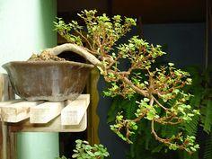 Snowbush Bonsai Tree Breynia Disticha