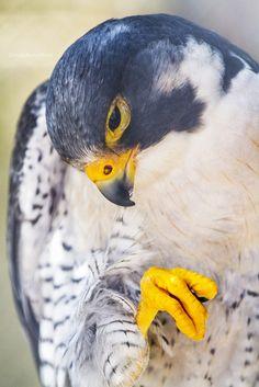 Peregrine Falcon | u/HollyBerry255
