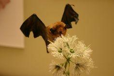 En vidéo : la langue d'une chauve-souris boit du nectar
