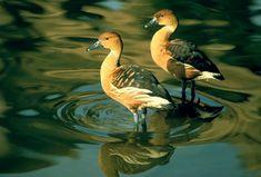 """Résultat de recherche d'images pour """"oiseau siffleur liste"""""""