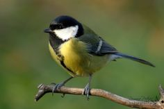 Great tit by Romano Petesic on 500px