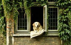Remembering Fidel: The Celebrity Labrador of Bruges  - TownandCountryMag.com