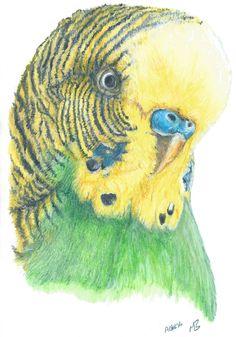 Green and Yellow Budgie watercolour pencil drawing.  'Mr Poof' #budgie #budgerigar #drawing #art #artwork #mrpoofartwork