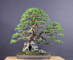 Juniperus chinensis Itoigawa by Pavel after a restyling