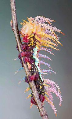 A Saturniidae shaman moth caterpillar. Switzerland.   http://ift.tt/1rgAAjF via /r/woahdude http://ift.tt/1SO3sMs