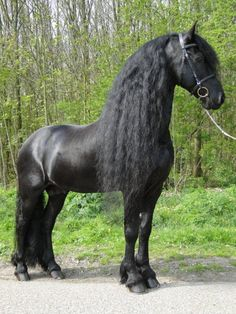 Incase you can't already tell, this is a Friesian. It is my dream horse. As soon as I can afford a second mortgage, I will have one.