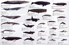 BALLENAS PARA TODOS: Los mejores lugares de Europa para observar Ballenas. Islas Canarias I