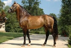 Purebred Morgan stallion, sooty buckskin with dappling, which suggests good condition and care. Bay is the classic color of this American breed, along with some chestnuts. Current fashion is to breed for more colors, and the cream gene is now well-established.