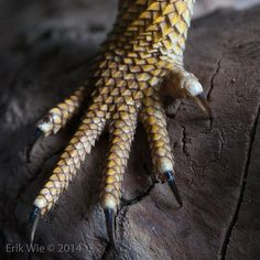 Pogona vitticeps | Flickr - Photo Sharing!