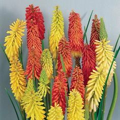 Red Hot Poker Flamenco 12 Large Plants Vibrant colours make for superb cut flowers Buy 12 and get 12 Half Price!These Red Hot Pokers would make an excellent addition to your borders. They are early flowering, come in a range of vibrant col http://www.MightGet.com/january-2017-11/red-hot-poker-flamenco-12-large-plants.asp