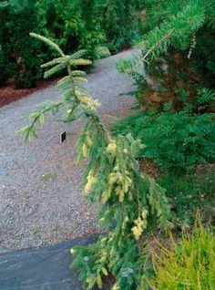 Картинки по запросу Picea pungens VIRGATA
