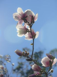 Magnolia is a large genus of about 210 flowering plant species in the subfamily Magnolioideae of the family Magnoliaceae. It is named after French botanist Pierre Magnol. Plant Species, Magnolia, Tulips, Planting Flowers, Garden, Plants, Trees, Garten, Flora