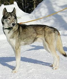 Seppala Siberian Sleddog. Get a Free Consultation for your #dog from our Friends at Nature's Select #Petfood http://naturalpetfooddelivery.com/nsd/usa/free-consultation/