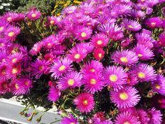 Mesembriantemo coltivazione Mesembryanthemum esposizione terreno annaffiature concimazione rinvaso fioritura potatura parassiti varietà cure curiosità foto