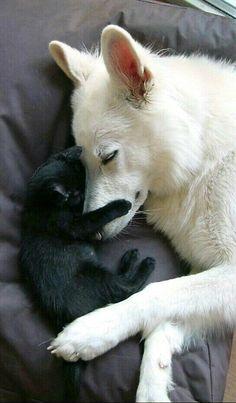 Mommy German shepherd snuggling her puppy! So sweet
