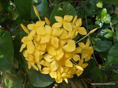 Ixora Maui Sunset Yellow (Ixora coccinea) Family: Rubiaceae