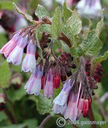 Symphytum grandiflorum 'Miraculum' - Beinwell