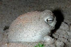 DESERT RAIN FROG This adorable species of frog is native to South Africa and Namibia. As a mating call, the frog can emit a very high-pitched whistle, making it look and sound like some kind of squeak toy. They are currently considered vulnerable, with their population experiencing a decline due to extensive mining.  7 Little-Known Animals Who Are Delightfully Weird