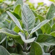 Ideas for recipes using sage Ideas y recetas para usar la Salvia