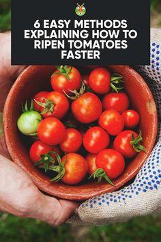 6 Easy Methods Explaining How to Ripen Tomatoes Faster