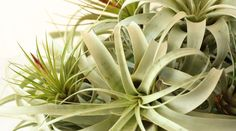Air Plant Rot: What Causes It and How You Can Fix It Although air plants are pretty low-maintenance creatures that require minimal care, they can quickly begin to rot if you don't take care of them properly. #modernairplants Air Plants Care, Plant Care, Feng Shui Plants, Office Plants, Garden Spaces, Houseplants, Indoor Plants, Succulents, Minimal