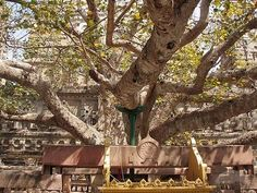 Bodhi Tree Mahabodhi Temple Bihar India