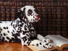 A studious and immensely adorable young dalmatian. #dogs #cute #Dalmatians #animals #books
