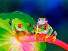 Red-eyed tree frogs are nocturnal inhabitants of the rainforests that are located in Central and South America as well as Southern Mexico. These amphibians have bright red eyes, bright green bodies, orange toes and bright yellow and blue sides.
