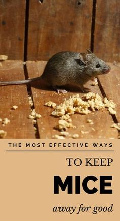 Here& what you need to know about those pesky little creatures and how you can get rid of mice when you do spot one using some natural methods. Mouse Deterrent, Keep Mice Away, How To Deter Mice, Household Pests, Household Tips, Household Cleaners, Getting Rid Of Rats, Plants That Repel Bugs, Mice Repellent